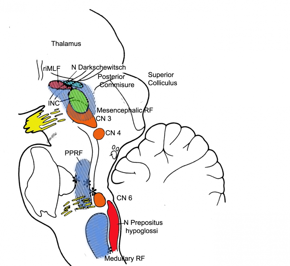 RiMLF in the brainstem