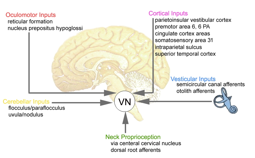 Multimodal input to Vestibular Nuclei