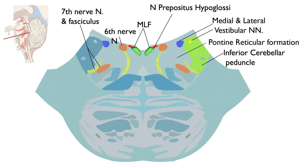 Components of the neural integrator in the medulla